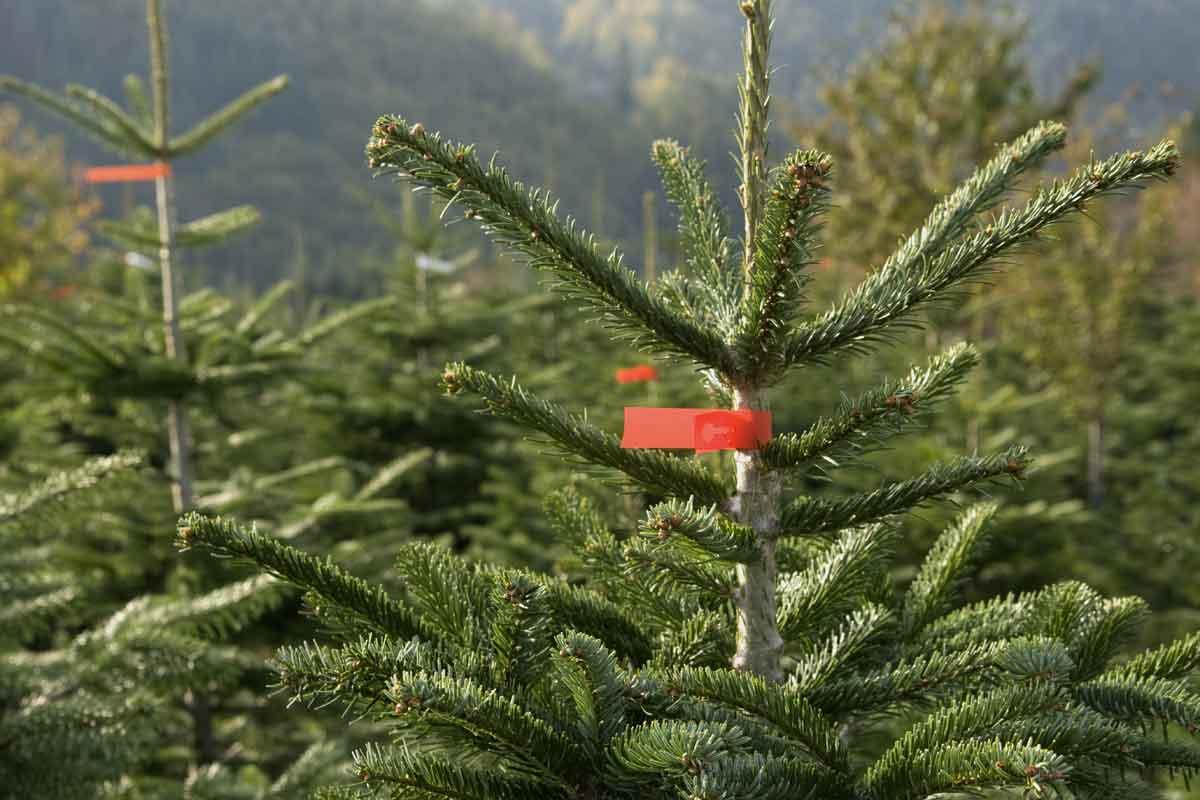 weihnachtsbaumkulturen_01