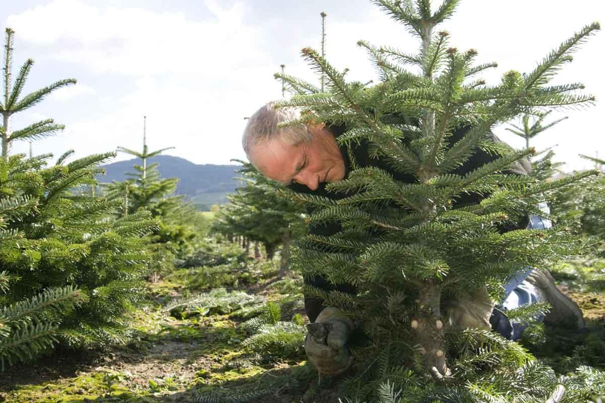 weihnachtsbaumkulturen_02